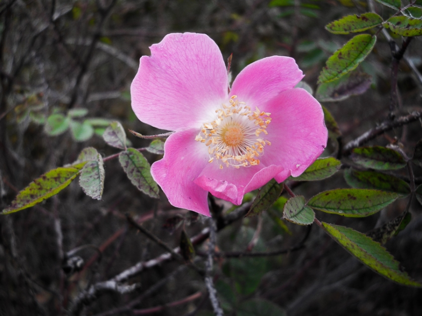 rosehip-4256