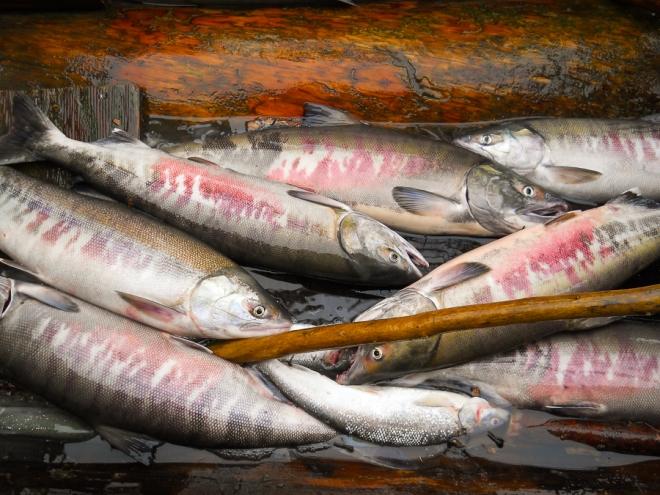 salmon-4588