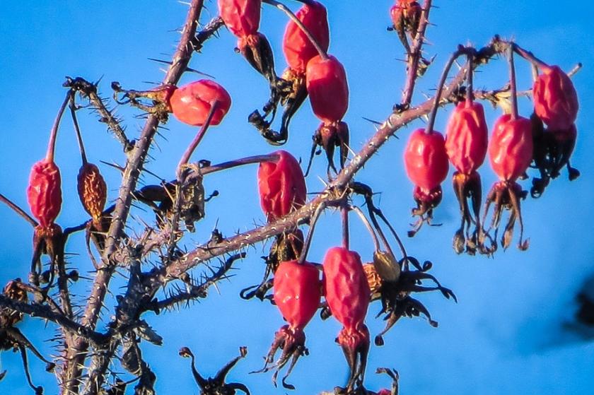 rosehips-0057