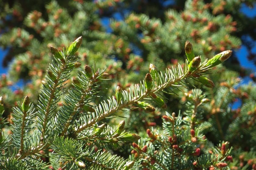 spruce-0019