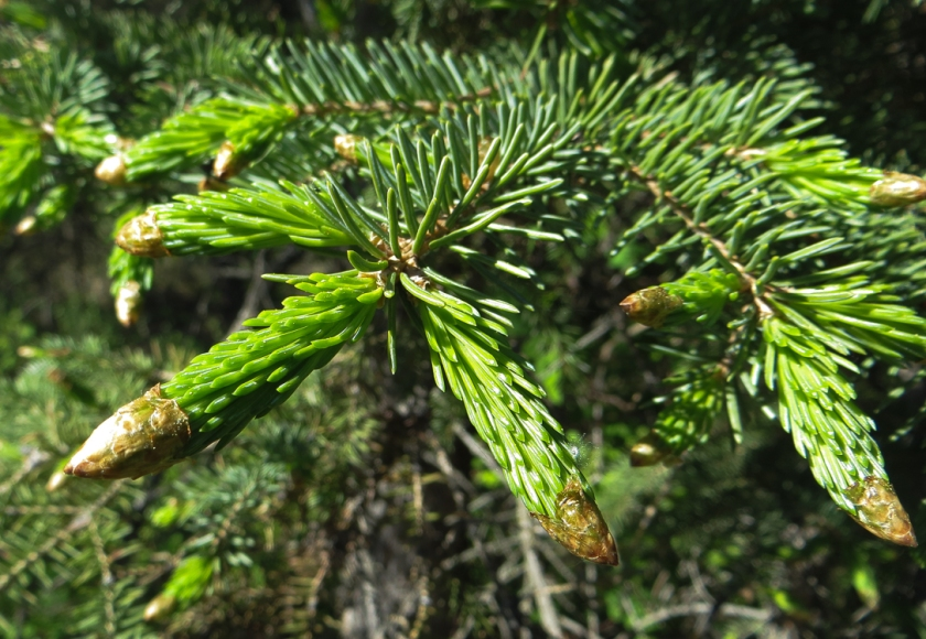 spruce-0022