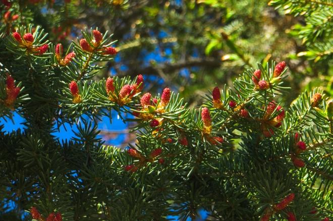 spruce-0026