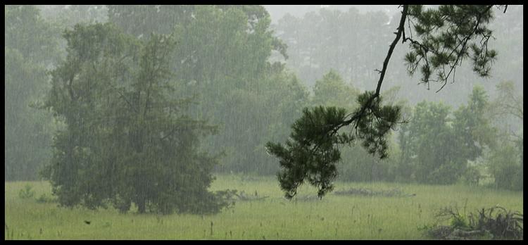 piney wood rain-4116