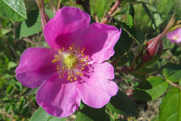 wild rose-0010