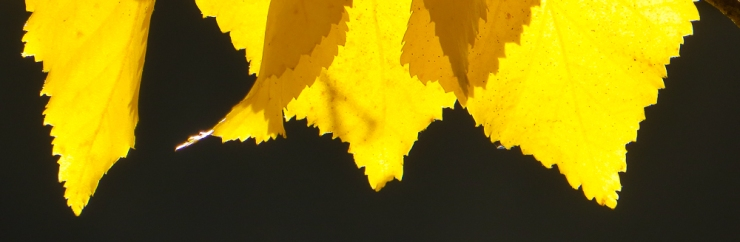 birch leaves-0019
