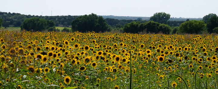 navarro sunflowers