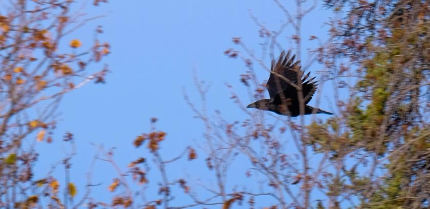 raven-0875